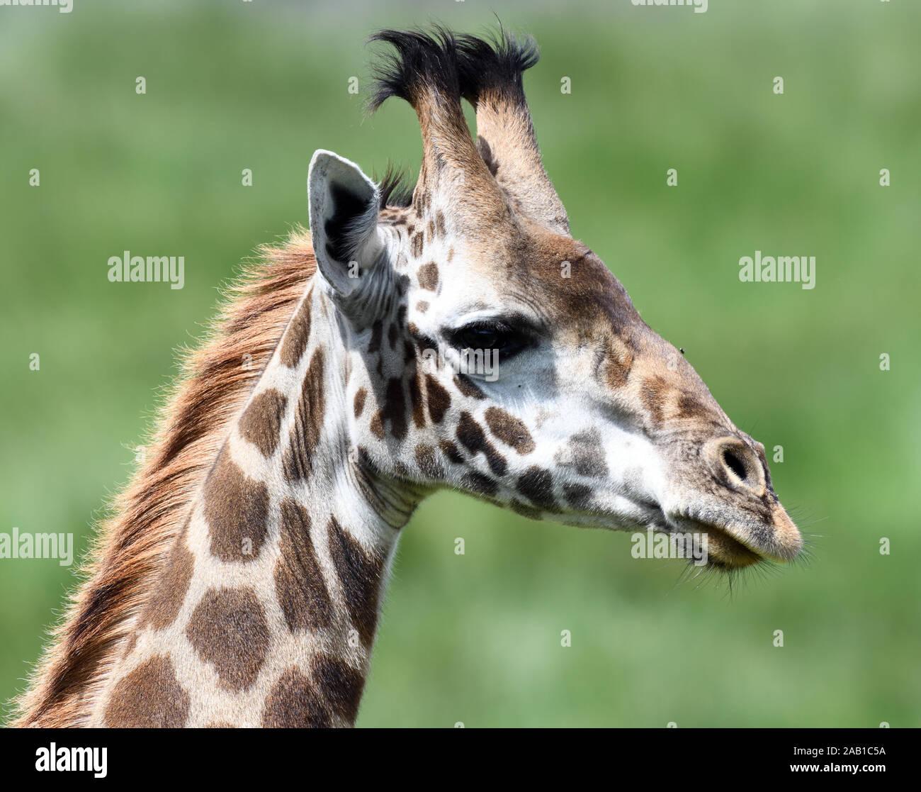 Female Masai giraffe (Giraffa camelopardalis tippelskirchii). Arusha National Park. Arusha, Tanzania. Stock Photo