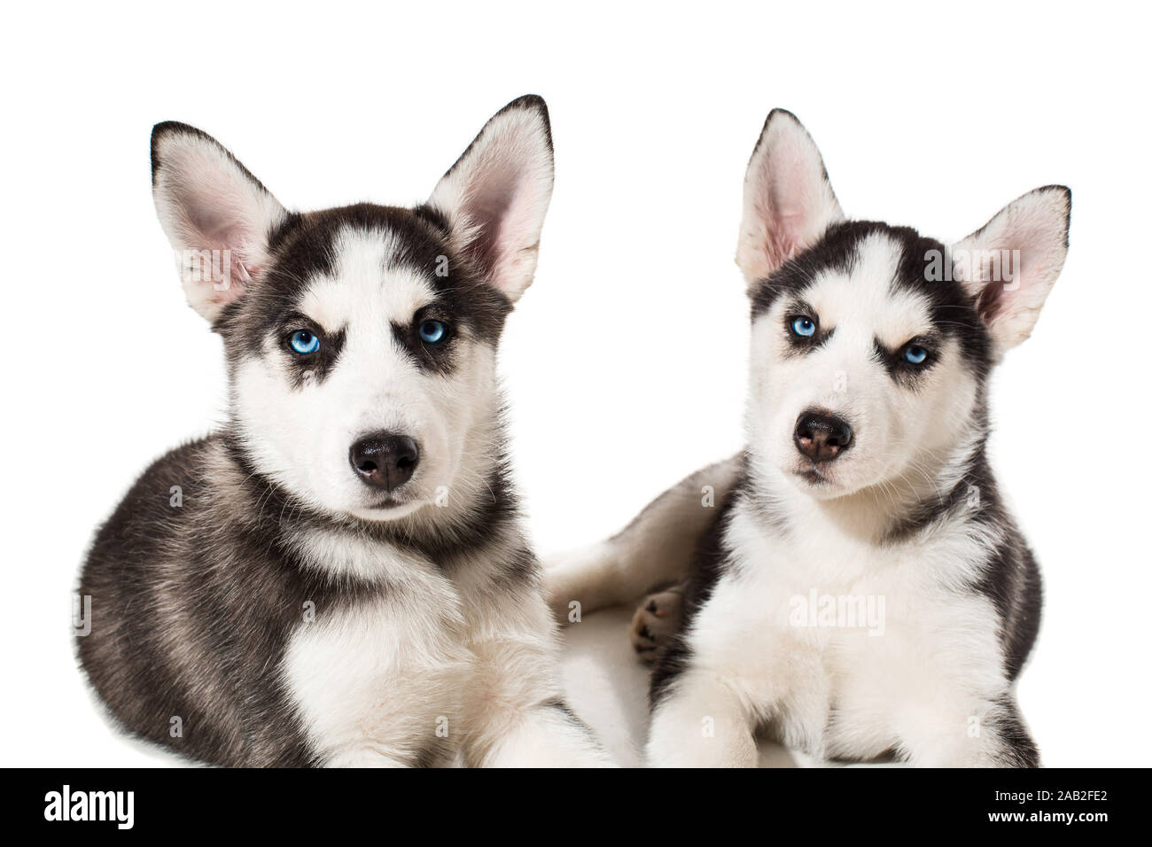 Two Little Cute Puppy Of Siberian Husky Dog With Blue Eyes Isolated Stock Photo Alamy