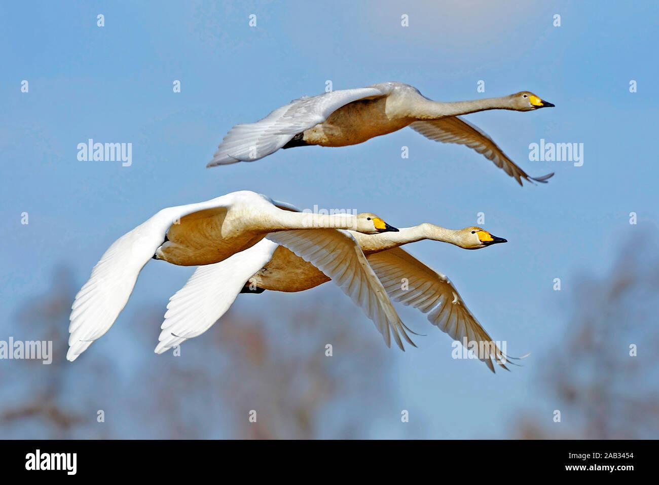 Drei Singschwaene im Flug Stock Photo