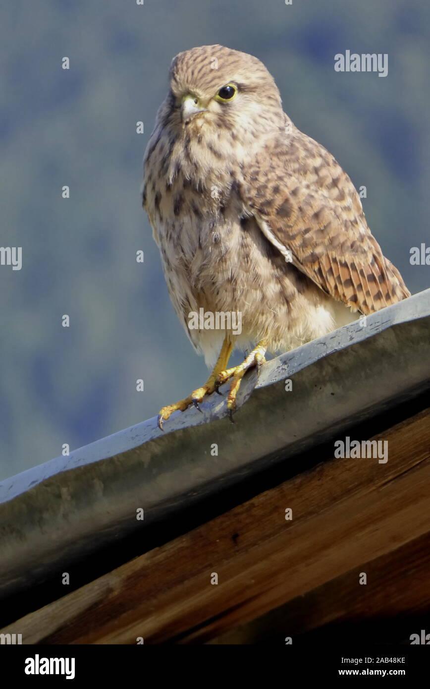Junger Turmfalke, Falco tinnunculus Stock Photo