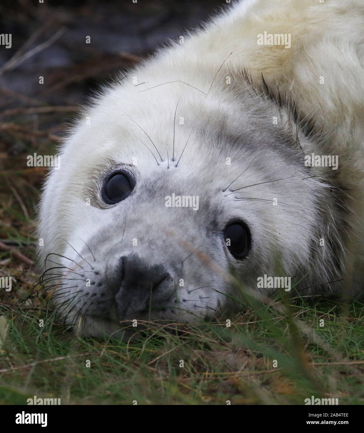 Grey seal pup (Halichoerus grypus) Donna Nook, Lincolnshire, UK Stock Photo