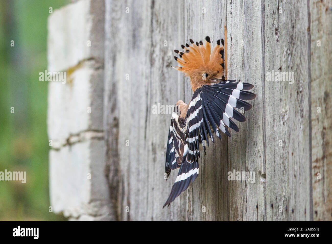 Wiedehopf (Upupa epops) Stock Photo