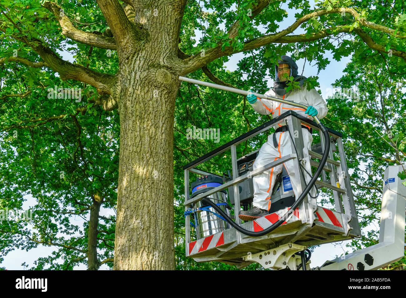 Bekämpfung Eichen-Prozessionsspinner, Münsterland, Nordrhein-Westfalen, Deutschland Stock Photo