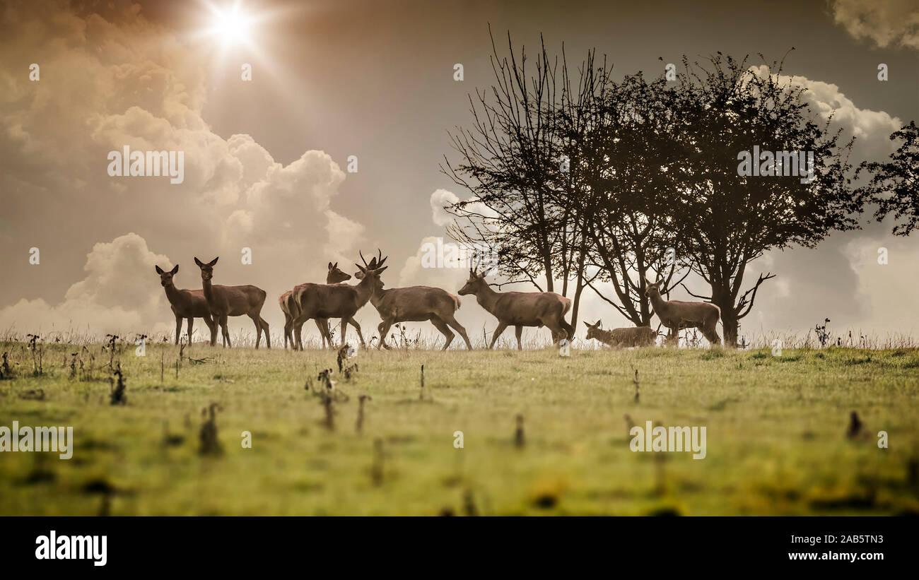 Sieben Hirsche im Morgengrauen Stock Photo