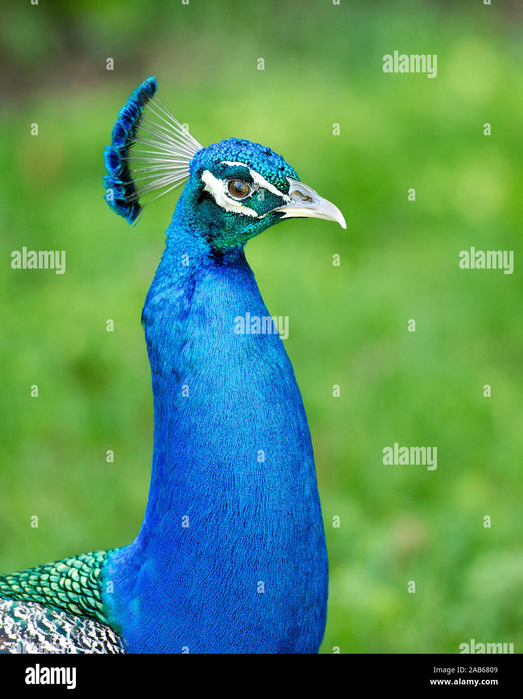 Peacock bird, close-up head profile view the beautiful colorful bird. Stock Photo