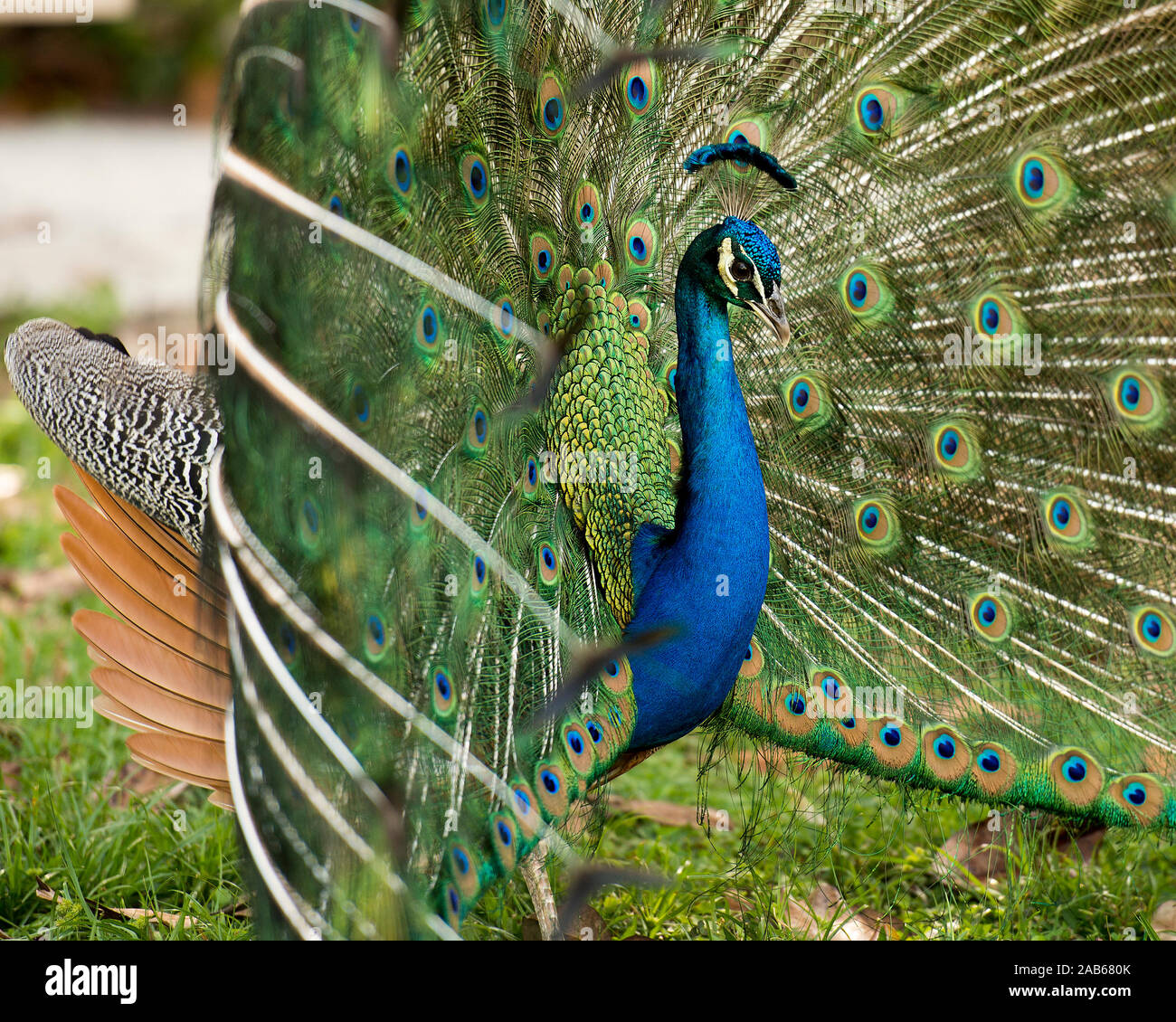 Peacock bird, the beautiful colorful bird. Stock Photo