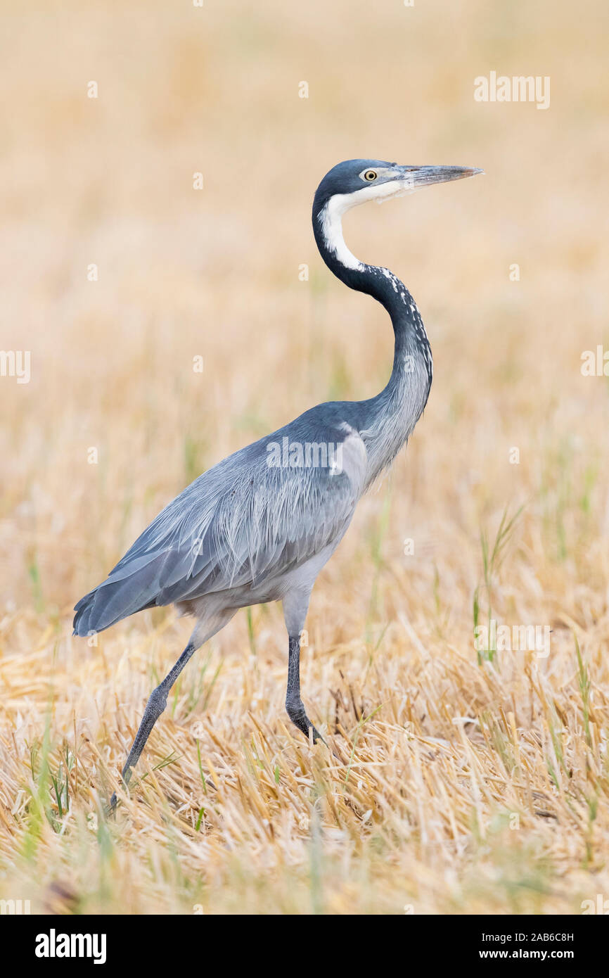 Black-headed Heron (Ardea melanocephala), side view of an adult walking in a wheat field, Western Cape, South Africa Stock Photo