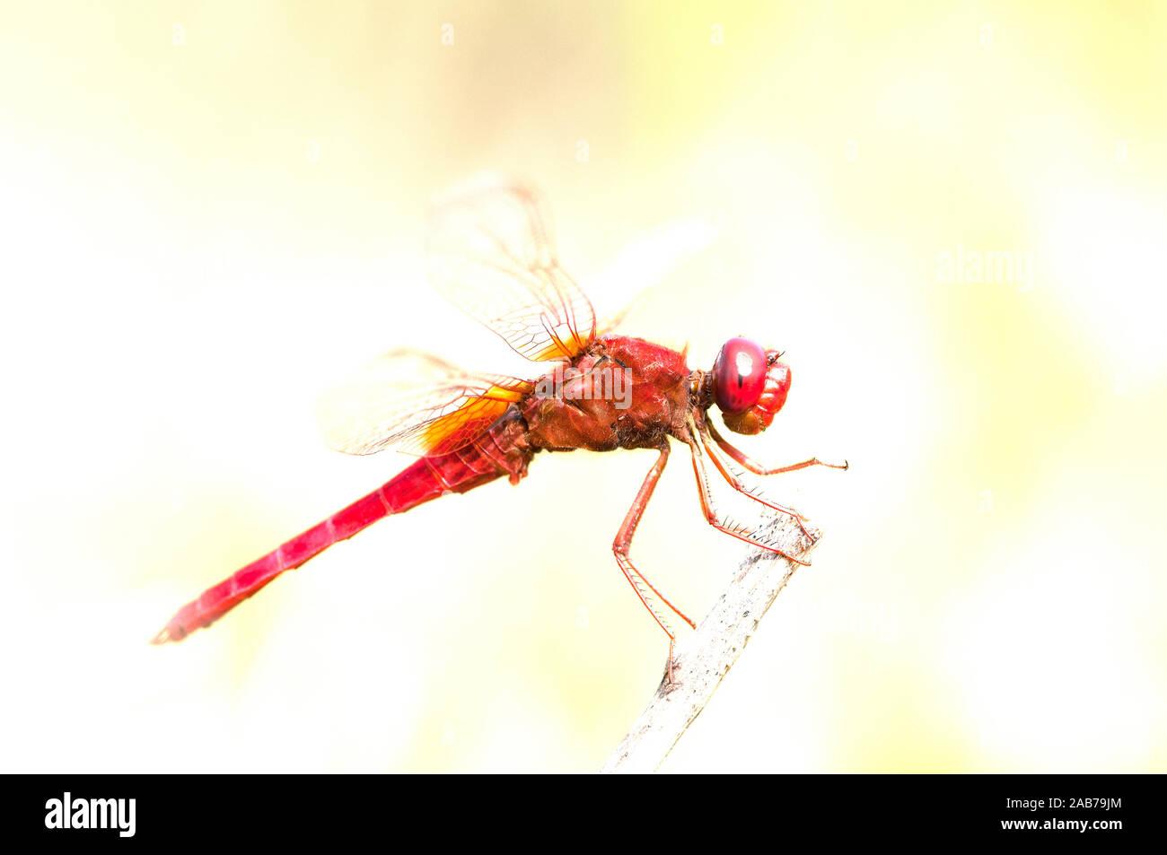 Scarlet Dragonfly - Broad Scarlet - Garrigue - Southern France (Crocothemis erythraea) Libellule écarlate Stock Photo