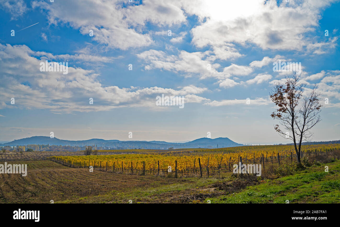 Beautiful vineyard on a hill. Mountains in the background. Cloudy blue sky. Autumn landscape. Yellow and orange vineyard. Stock Photo