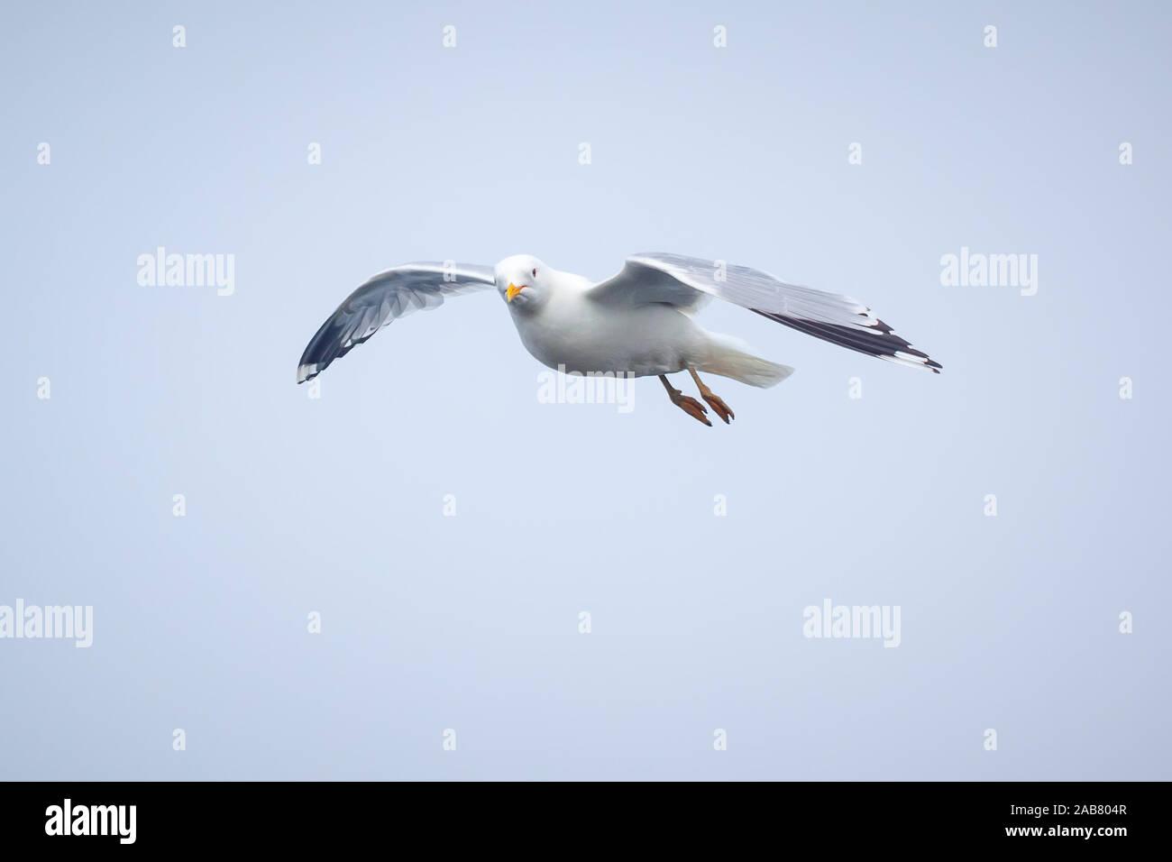 Eine fliegende Moewe Stock Photo: 333933959 Alamy