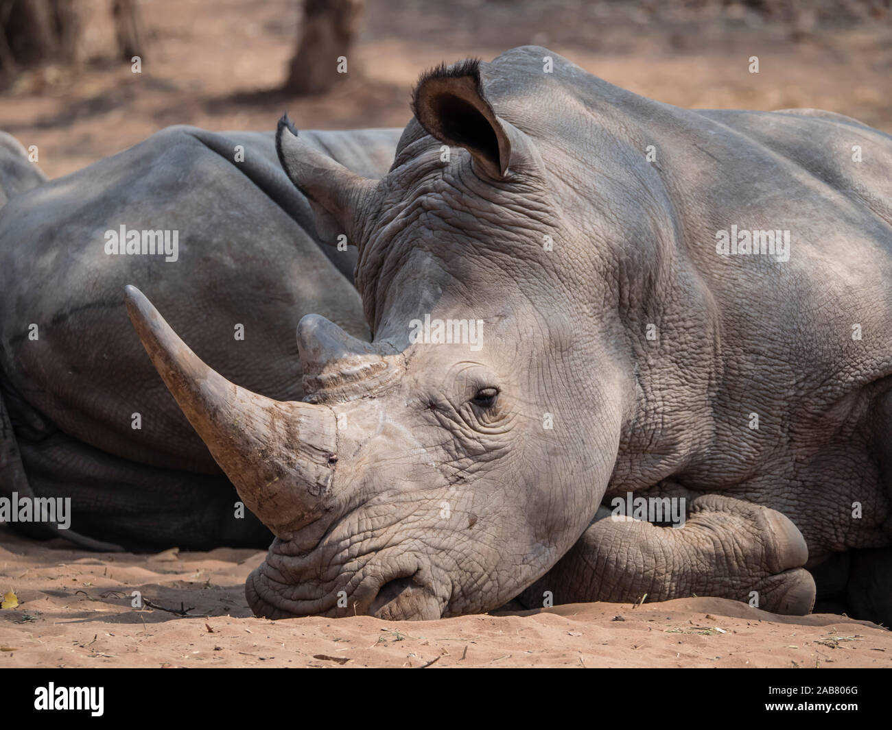An adult southern white rhinoceros (Ceratotherium simum simum), guarded in Mosi-oa-Tunya National Park, Zambia, Africa Stock Photo