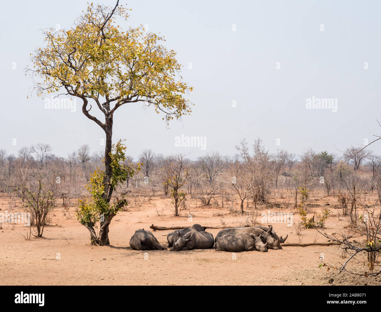 Adult southern white rhinoceros (Ceratotherium simum simum), guarded in Mosi-oa-Tunya National Park, Zambia, Africa Stock Photo