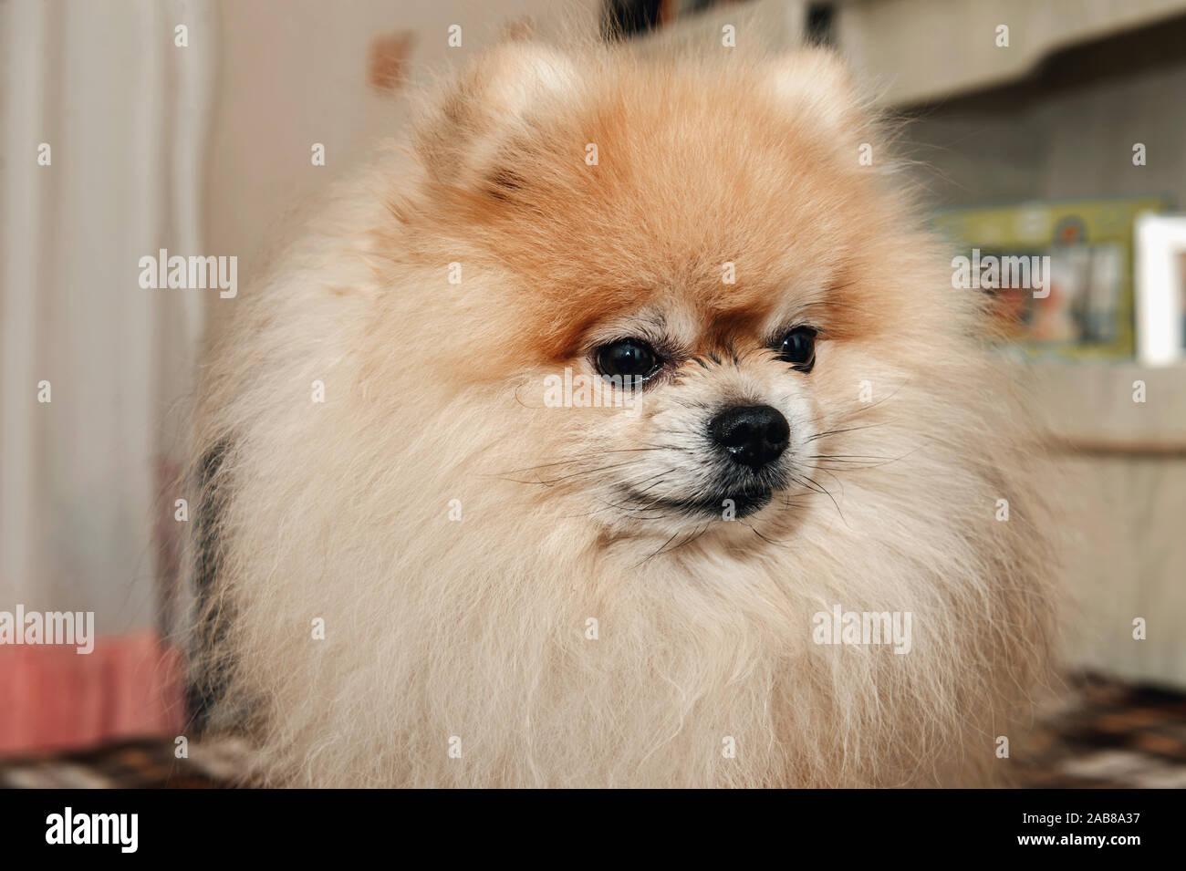 Pomeranian puppy dog before haircut long hair style, cute pet