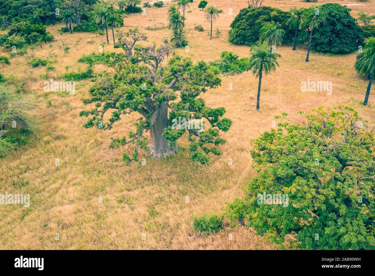 Aerial view of Baobab tree. Senegal. West Africa. Photo made by drone from above. Stock Photo