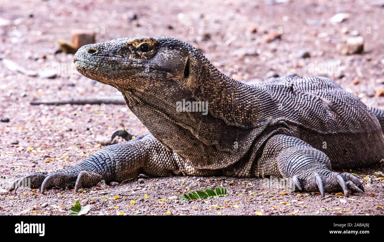 Komodo Dragon on Rinca Island, Indonesia Stock Photo