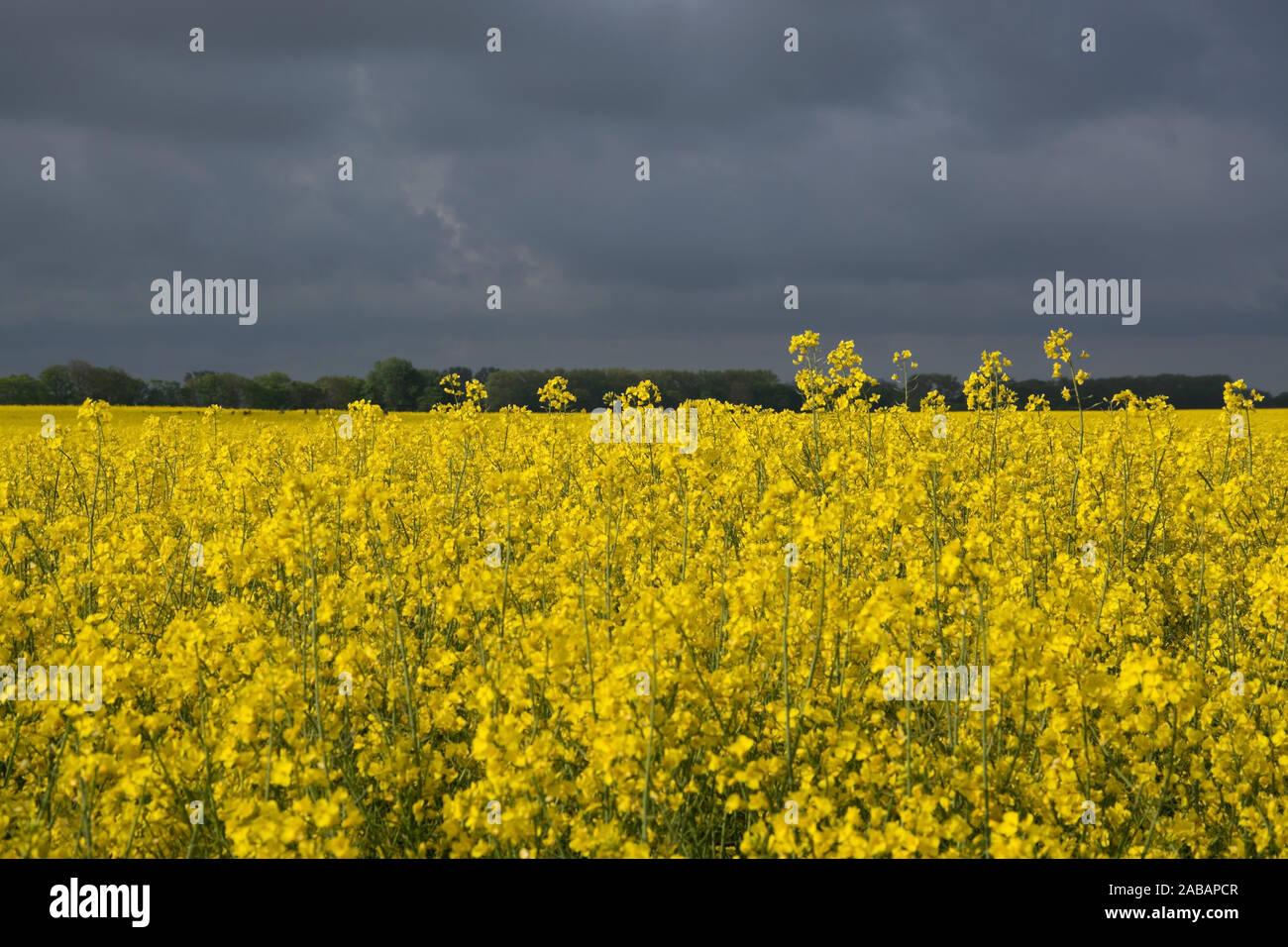 Rapsblüte in Deutschland im Mai. Stock Photo