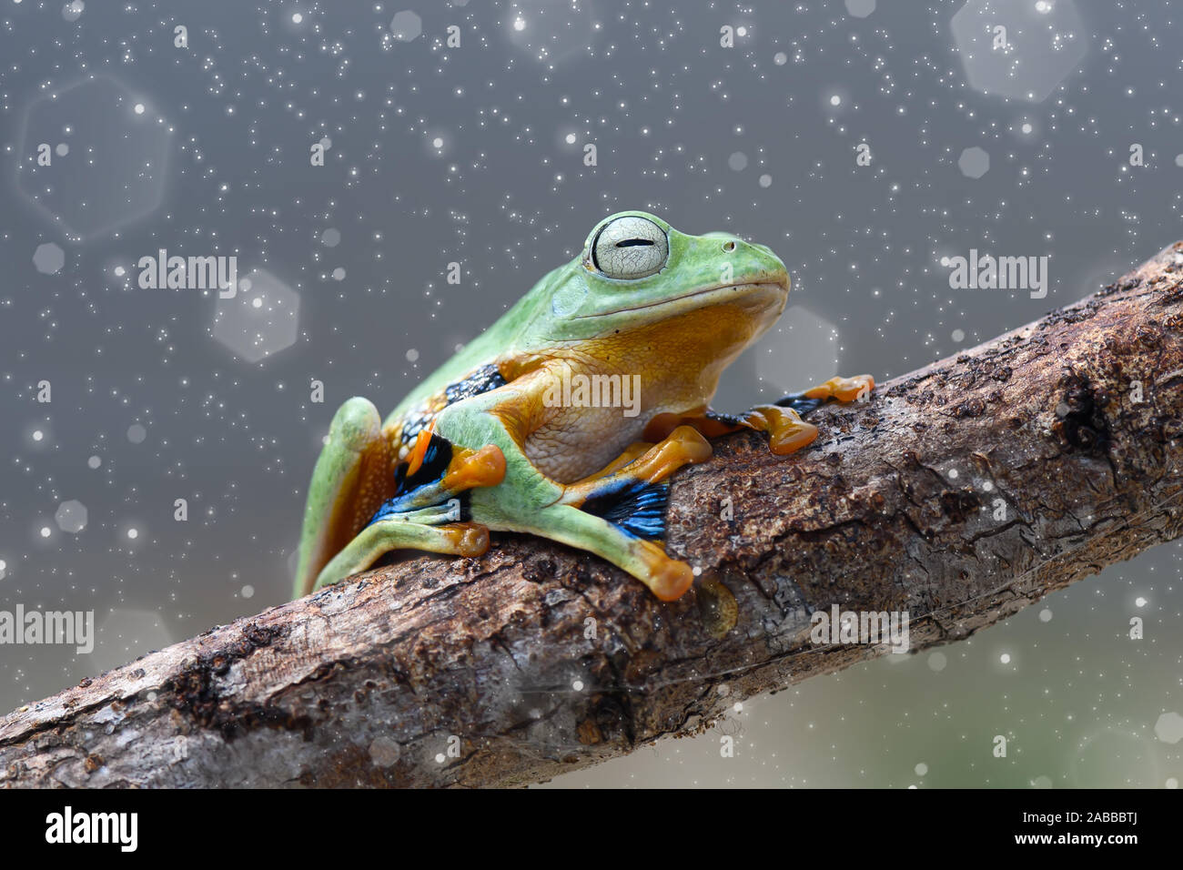 Wallace Flying Frog on a branch, Kalimantan, Borneo, Indonesia Stock Photo