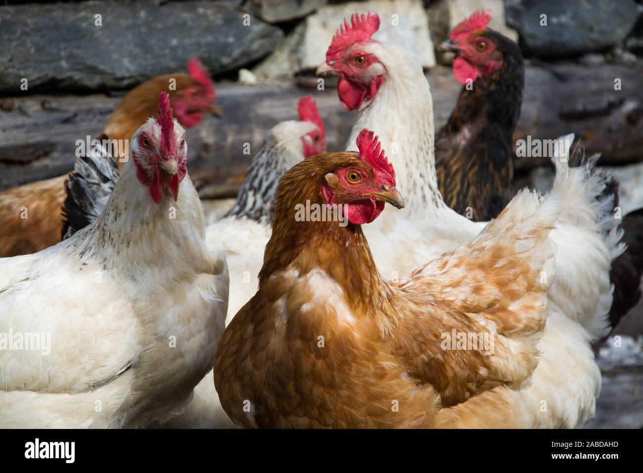 Frei laufende Hühner auf einem Bauernhof in Österreich. Stock Photo