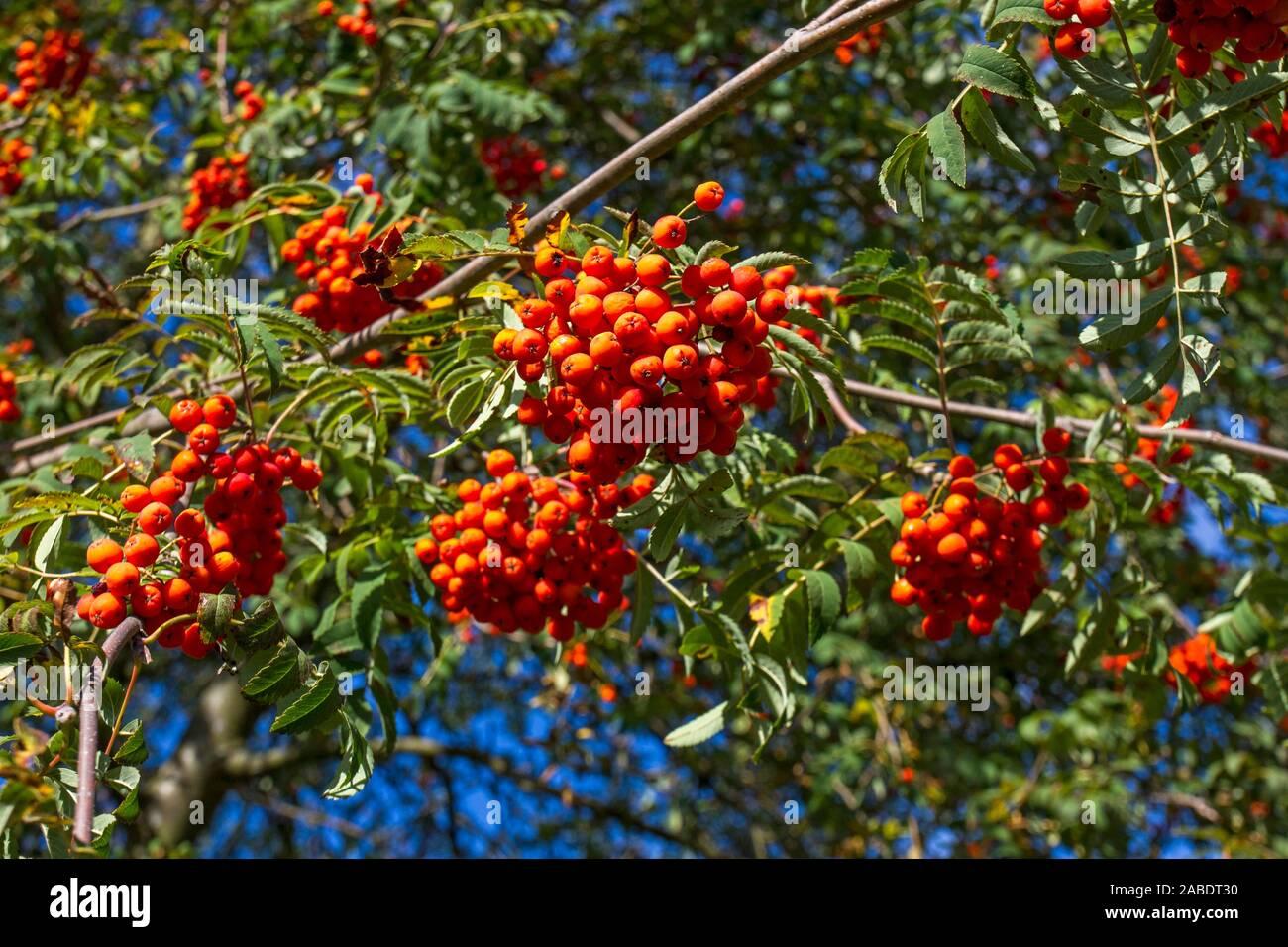 Vogelbeere (Sorbus aucuparia) Stock Photo