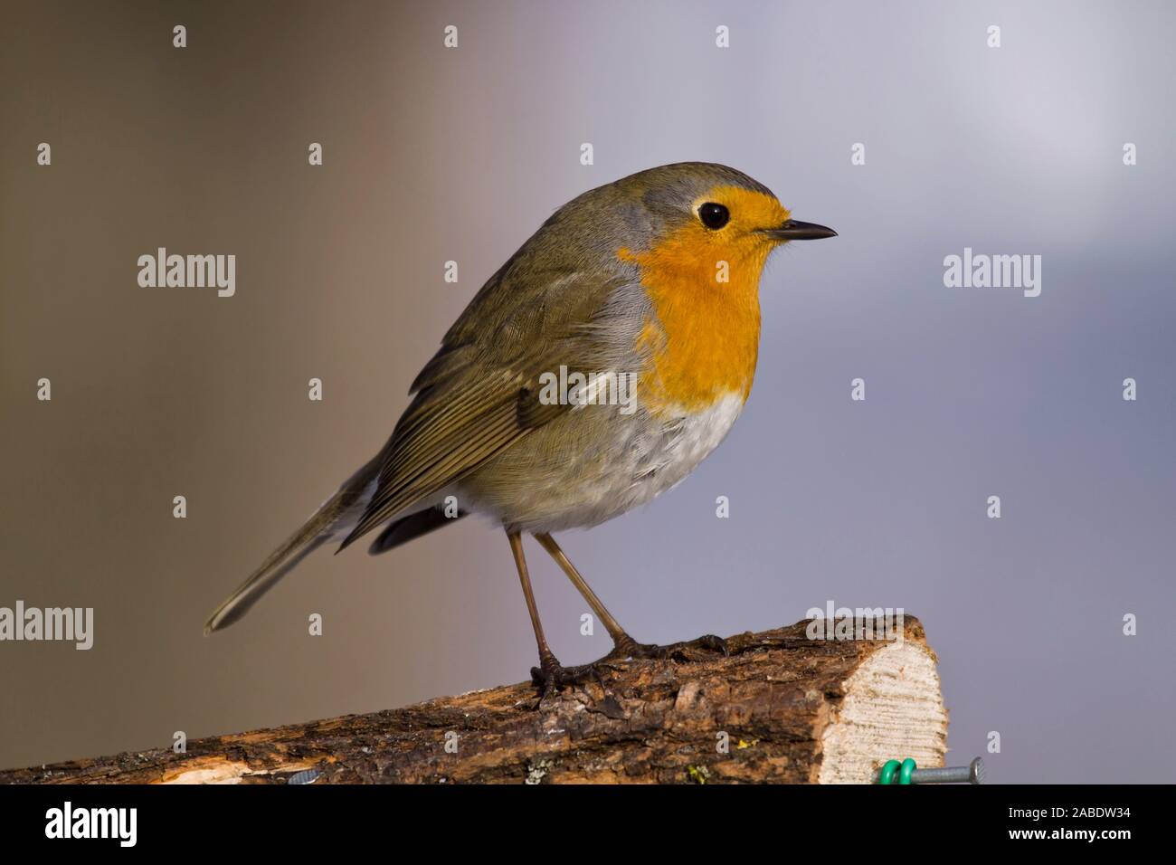 Rotkehlchen (Erithacus rubecula) Stock Photo