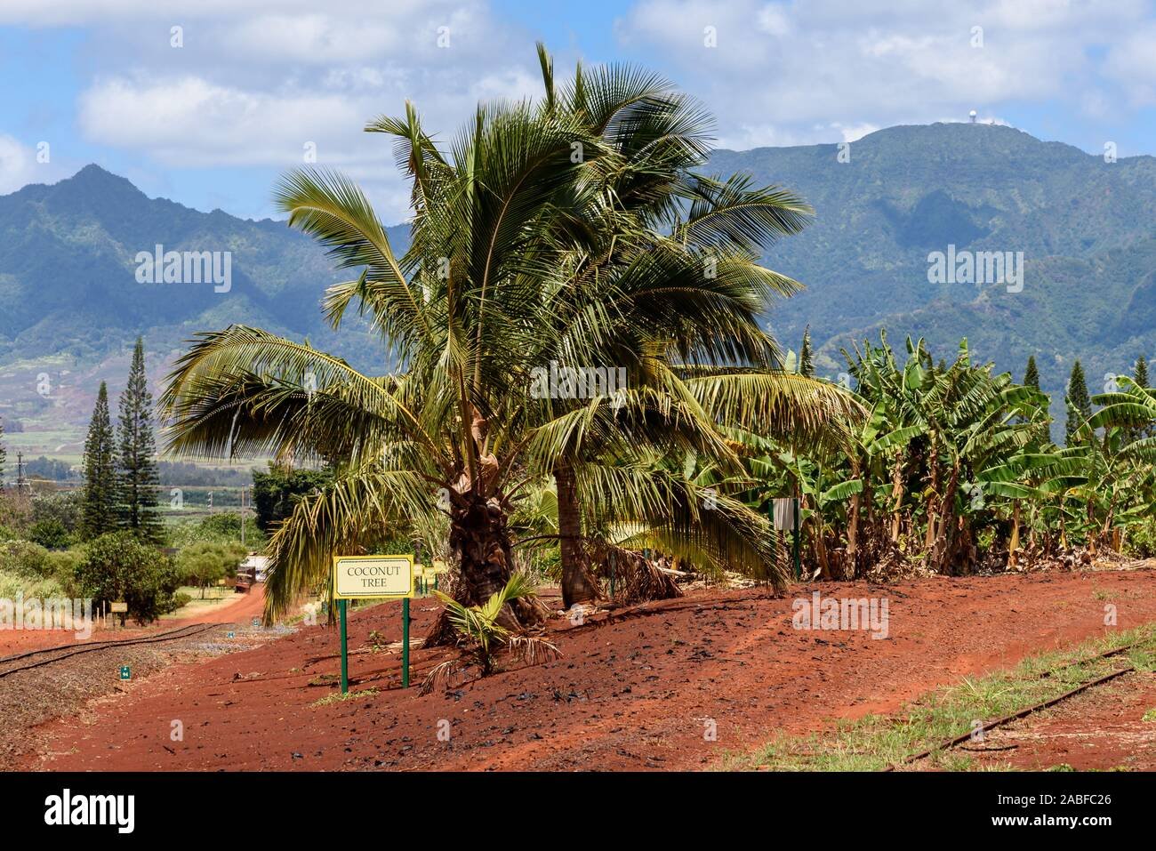 Coconut tree growing in a tropical plantation Stock Photo