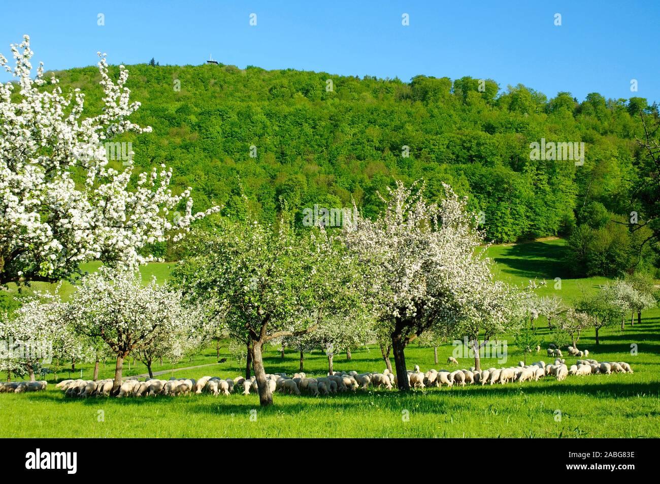 Blühende Obstbäume unter dem Langert,  Schafherde, Stock Photo