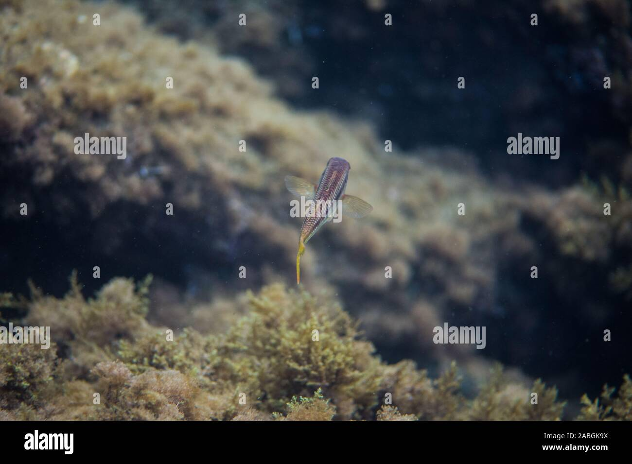 Striped red mullet Stock Photo