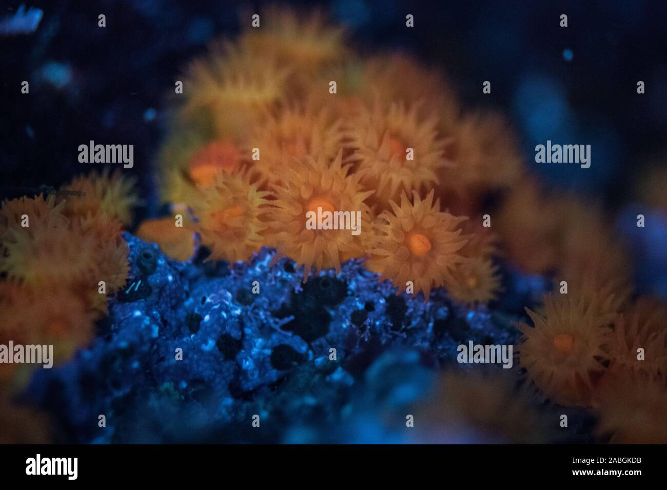 Sea Anemones Stock Photo