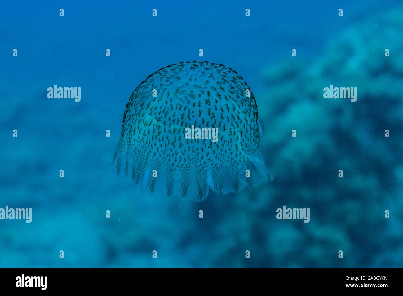 Pelagia noctiuca Stock Photo