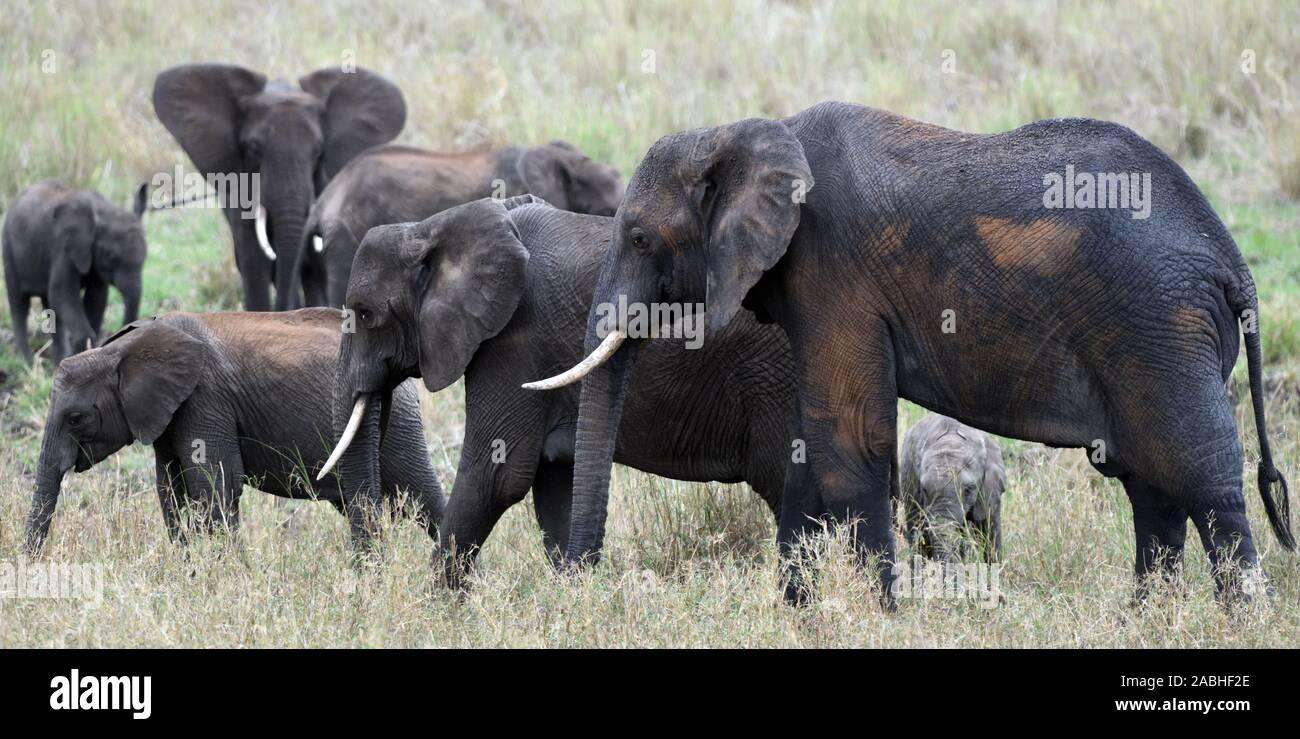A family group of African elephant (Loxodonta  africana) of a variety of ages, covered in wet mud from a recent wallow and brown dust. Tarangire Natio Stock Photo