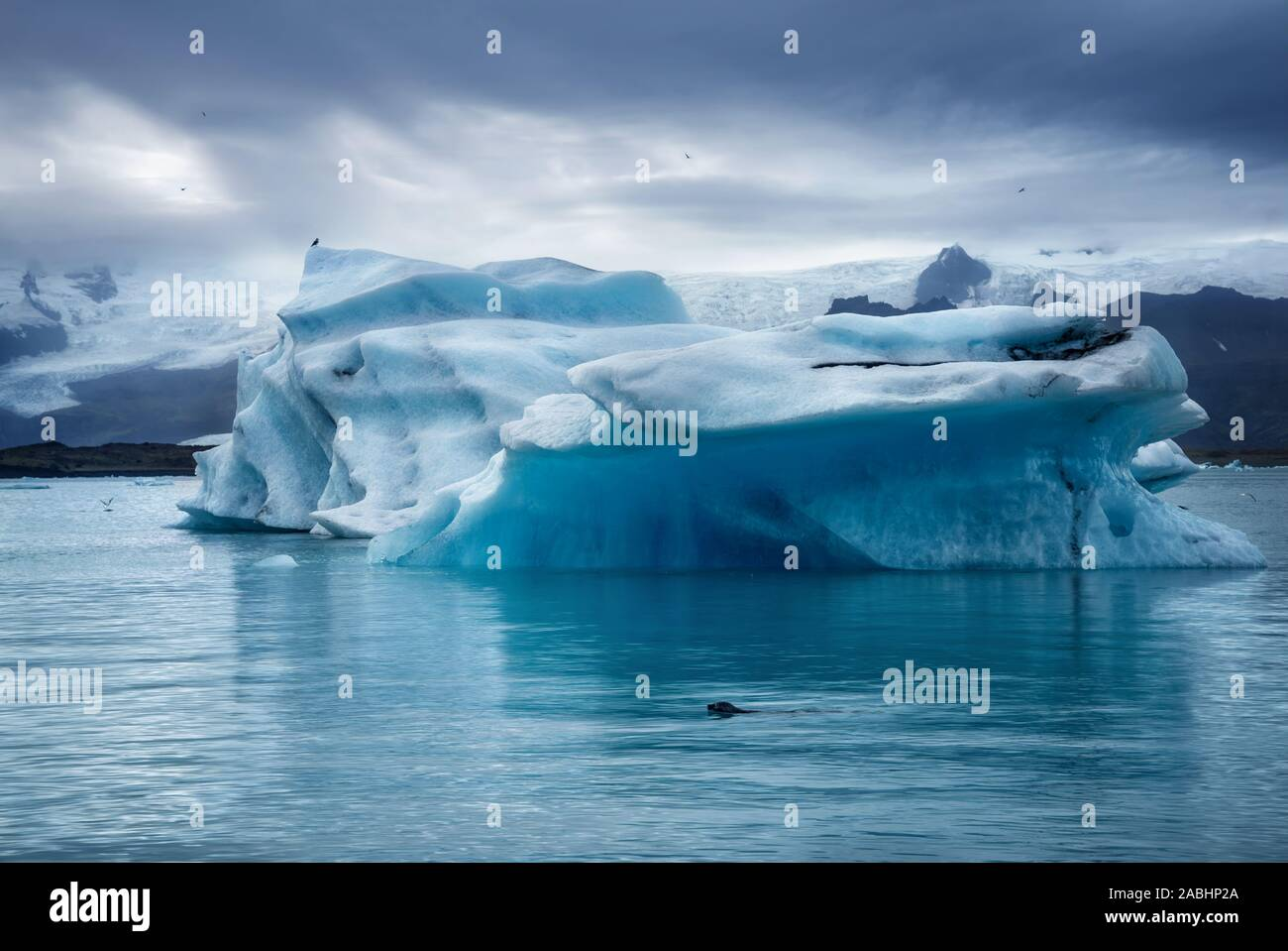 dark low key image of seal swimming in Jokulsarlon glacier lagoon at sunset on cloudy winter day with blue iceberg in background Stock Photo