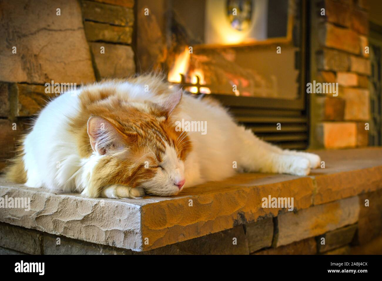 A long hair, orange and white Maine Coon cat sleeps on a hearth in front of a cozy gas fireplace with stone surround. Stock Photo