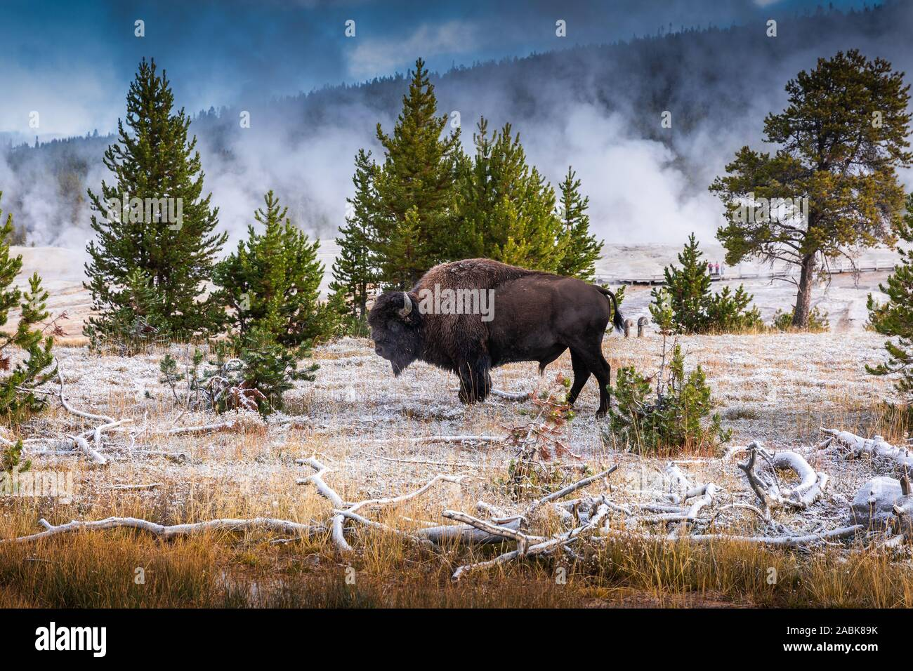 Bison Inside Area Of Old Faithful Famous Geyser Of