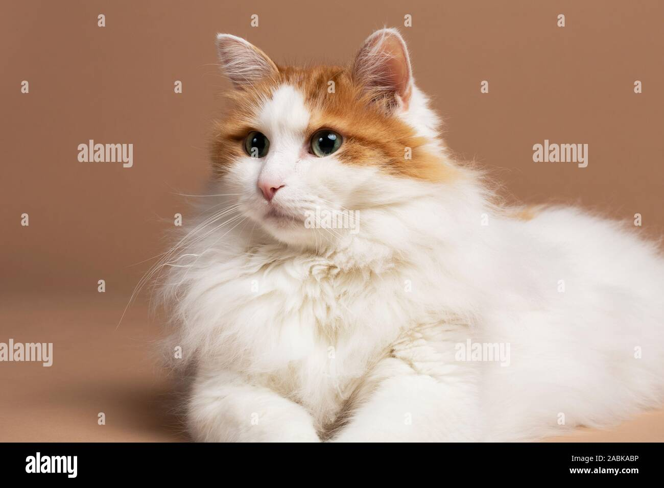A Portrait Of A Cute Beautiful Fluffy White And Brown Colored Turkish Van Cat With Green Eyes Laying In Front Of A Brown Beige Background Horizontal S Stock Photo Alamy