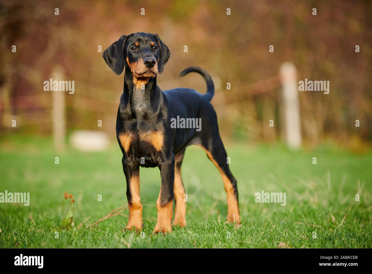 Doberman Pinscher Puppy With Natural Ears And Tail Standing On Grass Germany Stock Photo Alamy
