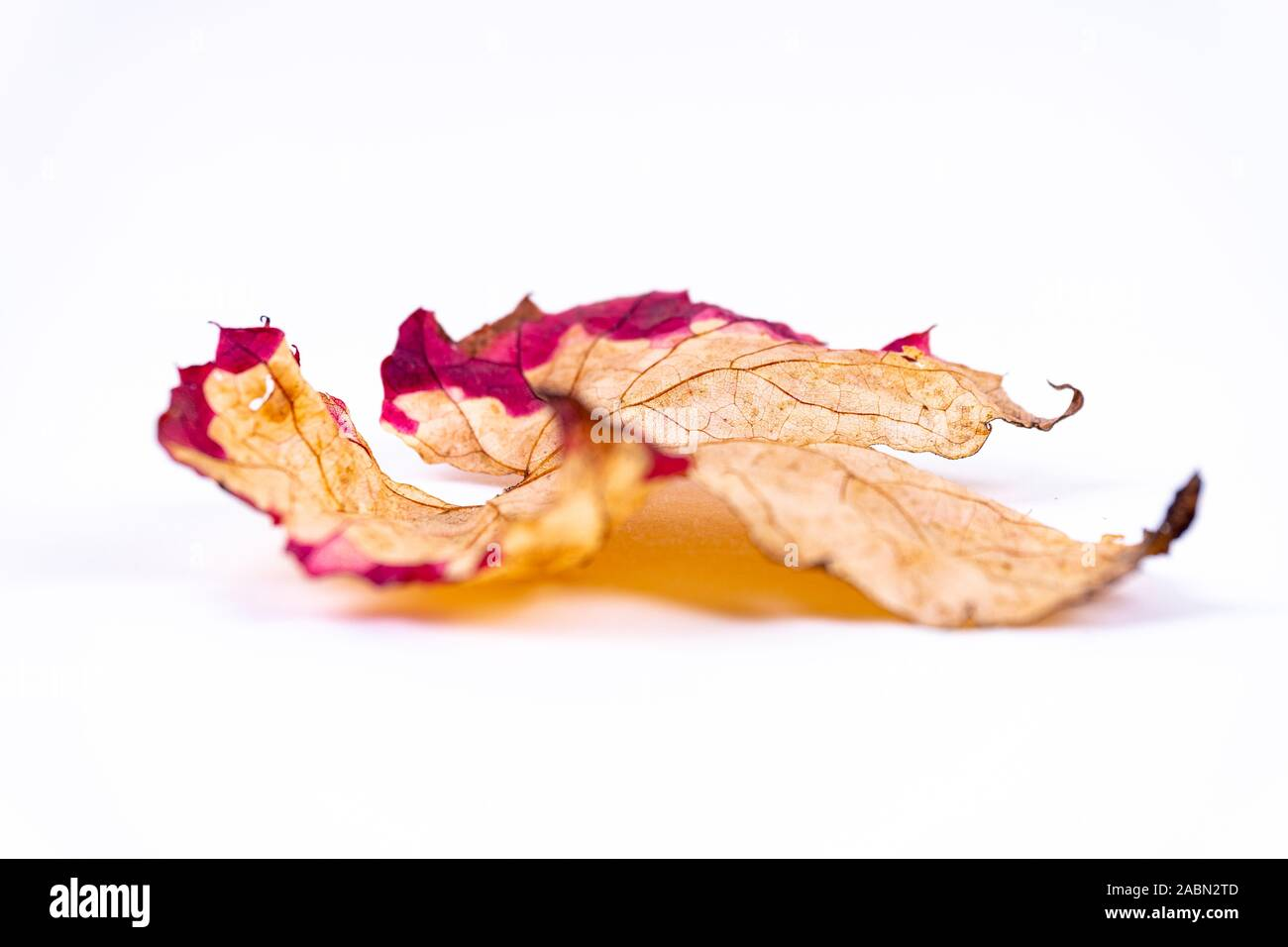 A colorful orange red autumn leaf on white background with copy space Stock Photo