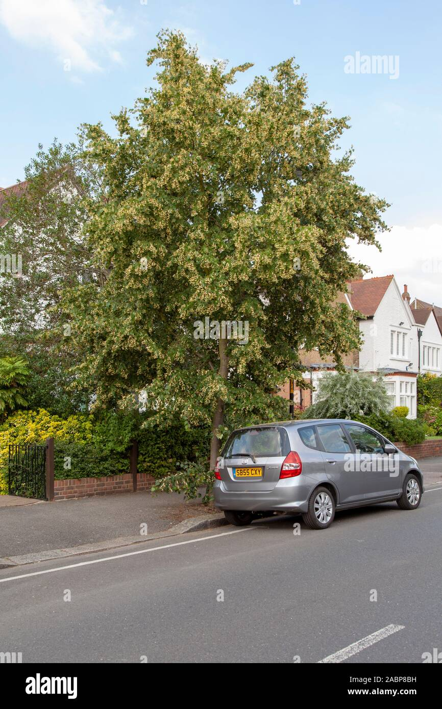 Mongolian Lime (Tilia mongolica) urban tree in flower, London, UK Stock Photo