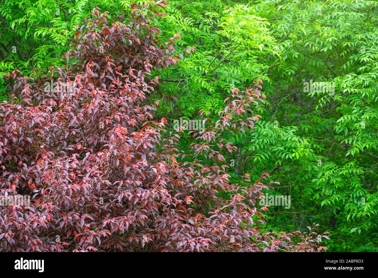 Green And Dark Red Leaves On Spring Trees Natural Background
