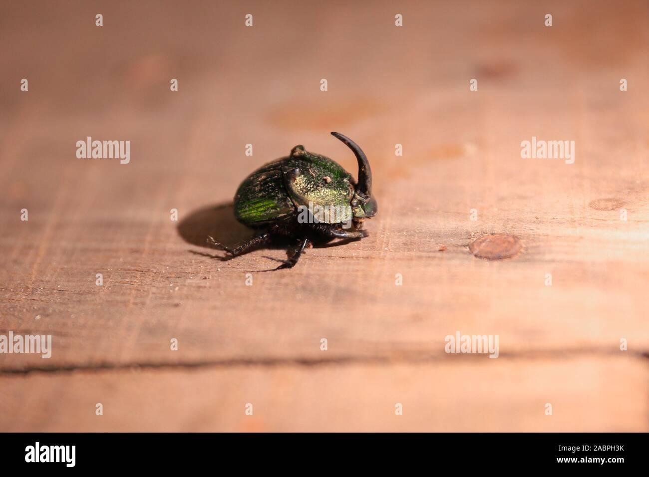 The Mayate green June beetle or pipiol, Cotinis mutabilis, is a polyphagous beetle of the family of scarabids. Reserva Momte Mojino  © (© Photo: LuisGutierrez / NortePhoto.com)    El mayate escarabajo verde de junio o pipiol, Cotinis mutabilis, es un coleóptero polífago de la familia de los escarabeidos.  ©  (© Foto: LuisGutierrez / NortePhoto.com) Stock Photo