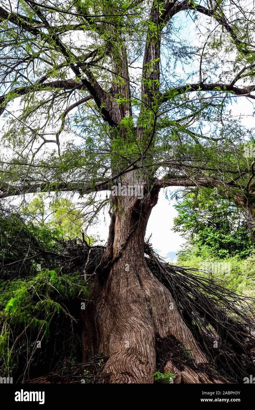 árbol , tree . Reserva Monte mojino Stock Photo