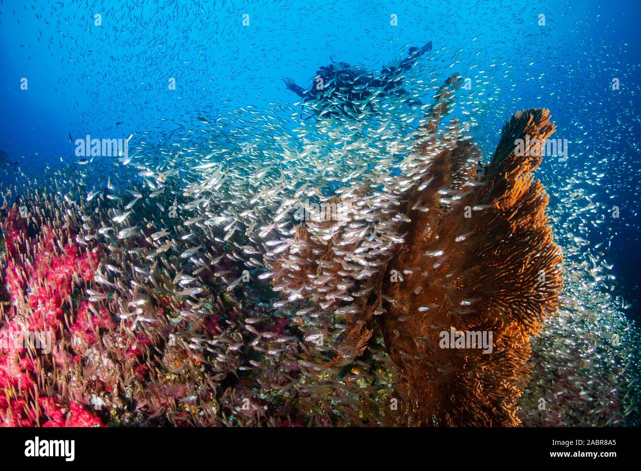 SCUBA divers on a colorful, tropical coral reef in Thailand Stock Photo