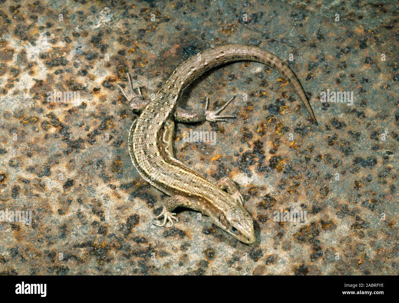 COMMON or VIVIPAROUS LIZARD Zootoca (Lacerta) vivipara. Recently gravid or pregnant female. Showing body condition after parturition. Stock Photo