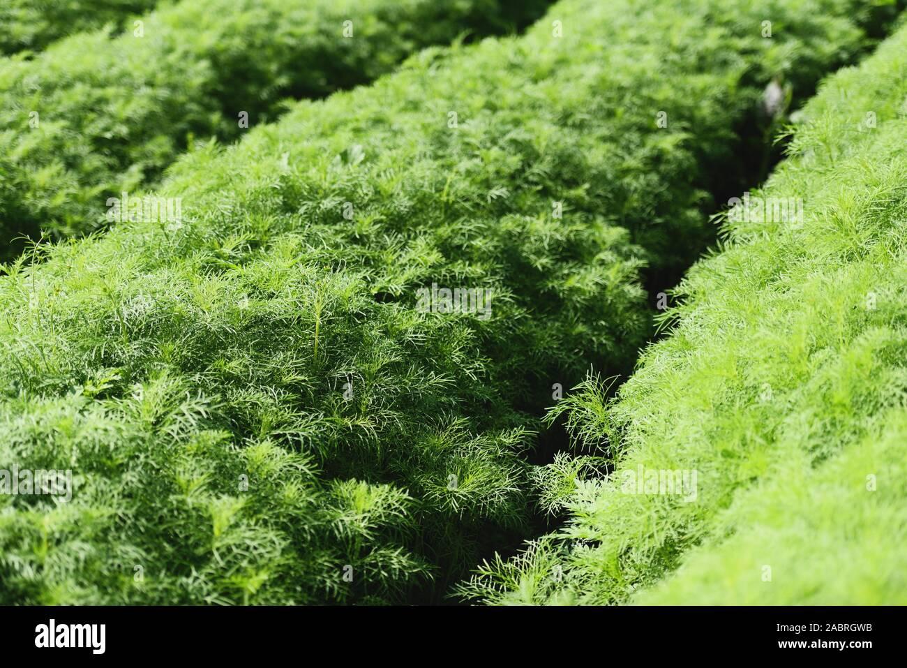 Eupatorium capillifolium / green organic dill plants grows in farm garden , asparagus field Stock Photo