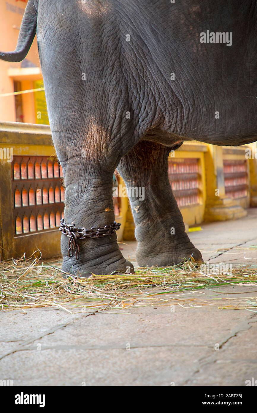 elephant's foot tied to a metal chain Stock Photo