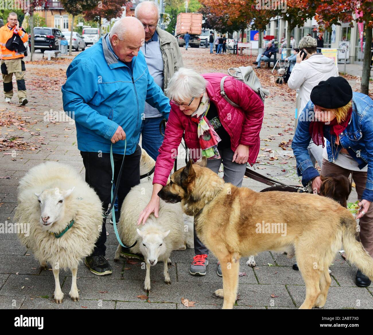 21 October 2019, Saxony, Schkeuditz: Werner Dreßler is greeted with his animals, dogs and sheep in the city centre. The 79-year-old master toolmaker takes the animals for a walk in the city every day and is an eye-catcher for locals and visitors alike. Photo: Waltraud Grubitzsch/dpa-Zentralbild/ZB Stock Photo