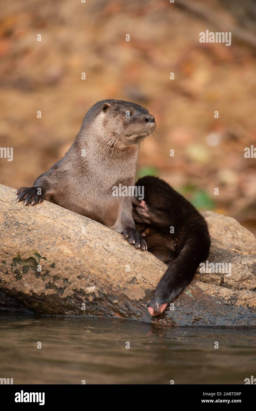 A Neotropical Otter (Lontra longicaudis) from South Pantanal, Brazil Stock Photo