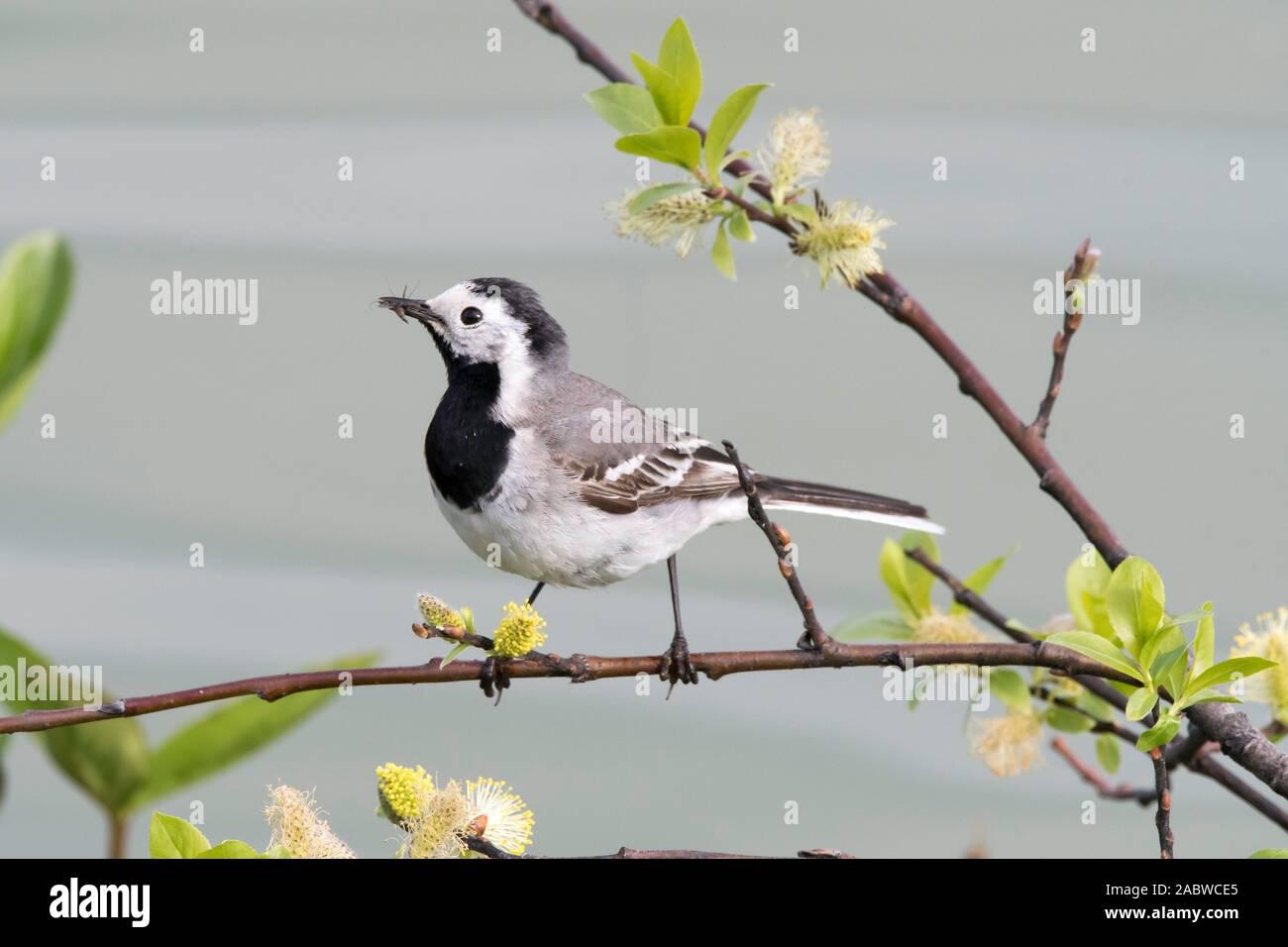 Bachstelze mit Futter, (Motacilla alba), Stock Photo