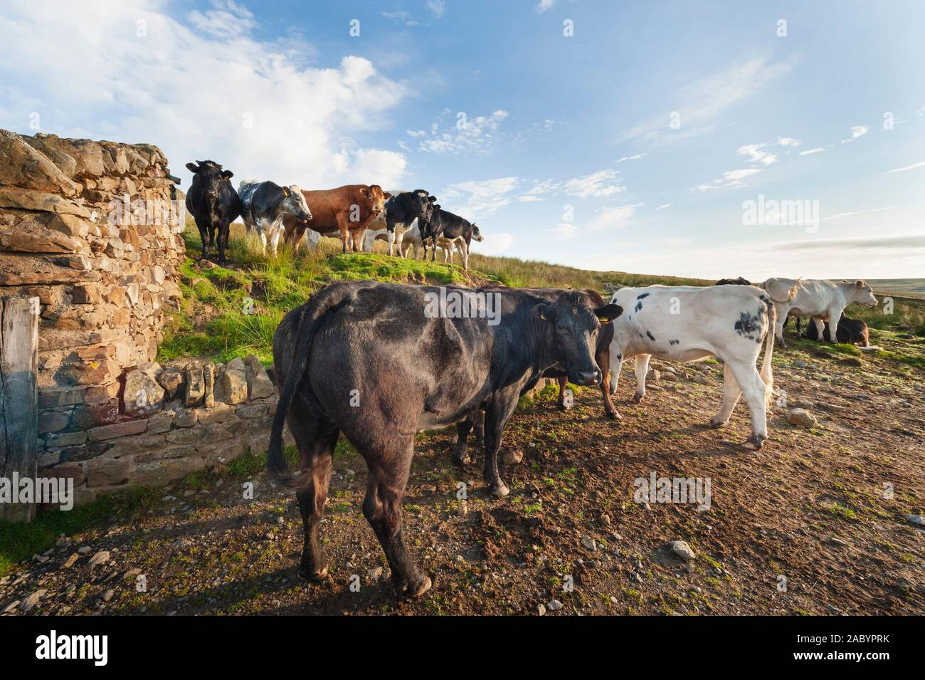 UK countryside - farming, livestock farm - beef cattle in early morning light Stock Photo