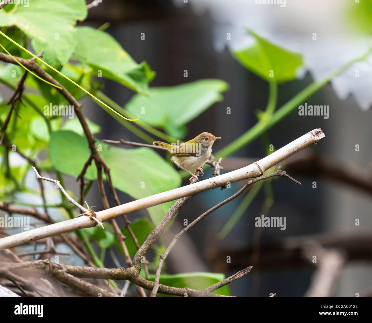 The greenish warbler (Phylloscopus trochiloides) is a widespread leaf warbler with a breeding range in northeastern Europe and temperate to subtropica Stock Photo