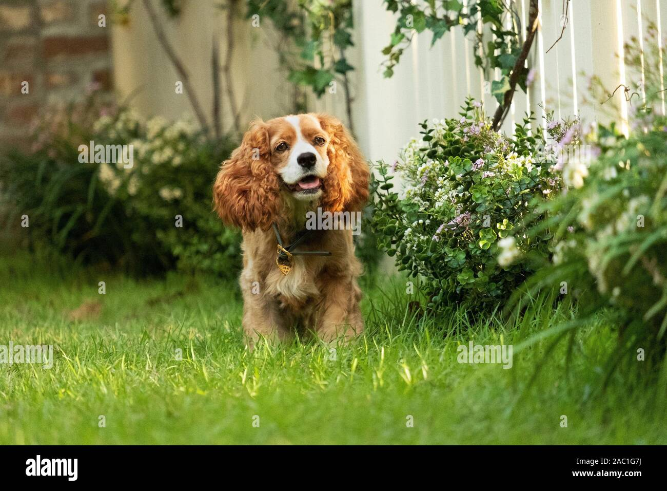 Lady Tramp High Resolution Stock Photography And Images Alamy